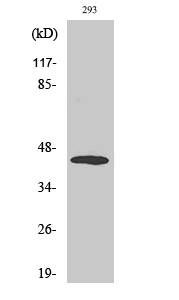 Fig. Western Blot analysis of various cells using Phospho-MEK-4 (T261) Polyclonal Antibody.