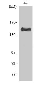 Fig. Western Blot analysis of various cells using Phospho-Met (Y1349) Polyclonal Antibody diluted at 1:1000.