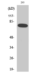 Fig. Western Blot analysis of various cells using Phospho-NFκB-p65 (S468) Polyclonal Antibody diluted at 1:1000.