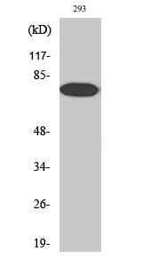 Fig. Western Blot analysis of various cells using Phospho-NFκB-p65 (T254) Polyclonal Antibody.