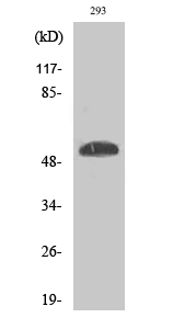 Fig. Western Blot analysis of various cells using Phospho-p53 (S46) Polyclonal Antibody diluted at 1:1000.
