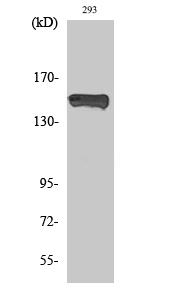 Fig. Western Blot analysis of various cells using Phospho-PLC γ1 (Y783) Polyclonal Antibody.