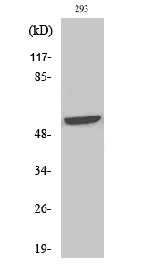 Fig. Western Blot analysis of various cells using Phospho-Shb (Y246) Polyclonal Antibody.