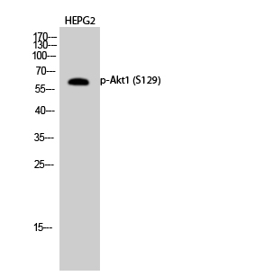 Fig.2. Western Blot analysis of HEPG2 cells using Phospho-Akt1 (S129) Polyclonal Antibody diluted at 1:1000.
