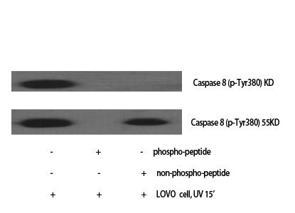 Fig. Western Blot analysis of various cells using Phospho-Caspase-8 (Y380) Polyclonal Antibody.