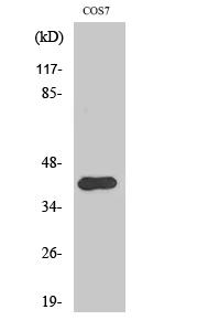 Fig. Western Blot analysis of various cells using Phospho-Crk II (Y221) Polyclonal Antibody.