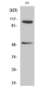Fig. Western Blot analysis of various cells using Phospho-NFκB-p105/p50 (S337) Polyclonal Antibody diluted at 1:500.