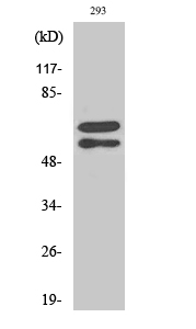 Fig.2. Western Blot analysis of 293 cells using Phospho-Lyn (Y508) Polyclonal Antibody diluted at 1:1000.