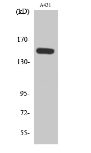 Fig. Western Blot analysis of various cells using Phospho-PLC β3 (S1105) Polyclonal Antibody diluted at 1:1000.