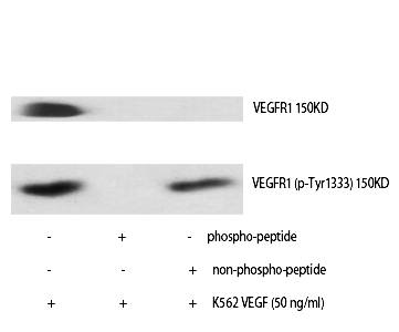 Fig. Western Blot analysis of various cells using Phospho-Flt-1 (Y1333) Polyclonal Antibody.