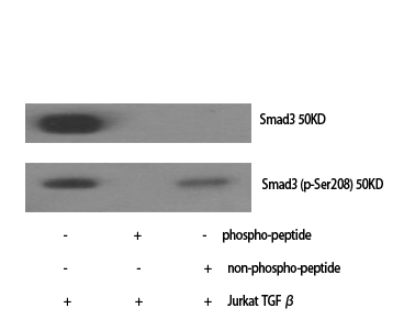 Fig.1. Western Blot analysis of various cells using Phospho-Smad3 (S208) Polyclonal Antibody.