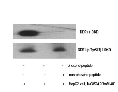 Fig. Western Blot analysis of various cells using Phospho-DDR1 (Y513) Polyclonal Antibody.