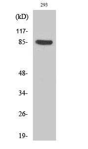 Fig.2. Western Blot analysis of 293 cells using Phospho-Cortactin (Y466) Polyclonal Antibody diluted at 1:500.