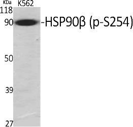 Fig.1. Western Blot analysis of various cells using Phospho-HSP90β (S254) Polyclonal Antibody.