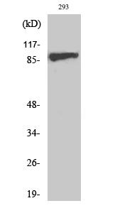 Fig. Western Blot analysis of various cells using Phospho-IGF-IR (Y1161) Polyclonal Antibody diluted at 1:500.