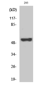 Fig. Western Blot analysis of various cells using Phospho-Cot (T290) Polyclonal Antibody.