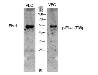 Fig.1. Western Blot analysis of various cells using Phospho-Ets-1 (T38) Polyclonal Antibody.