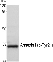 Fig. Western Blot analysis of extracts from NIH-3T3 cells, using Phospho-Annexin I (Y21) Polyclonal Antibody.