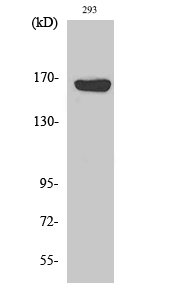 Fig. Western Blot analysis of various cells using ABCC12 Polyclonal Antibody diluted at 1:500.
