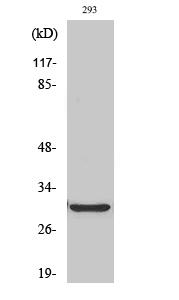 Fig.2. Western Blot analysis of HT29 cells using ABCC13 Polyclonal Antibody.