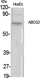 Fig.1. Western Blot analysis of various cells using ABCG2 Polyclonal Antibody.