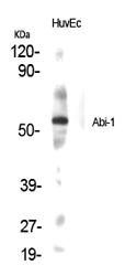 Fig.1. Western Blot analysis of various cells using Abi-1 Polyclonal Antibody.