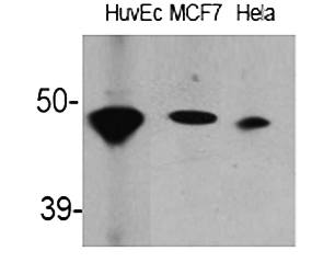 Fig.1. Western Blot analysis of various cells using ACAT-1 Polyclonal Antibody.