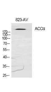 Fig.1. Western Blot analysis of various cells using ACCα Polyclonal Antibody diluted at 1:1000.