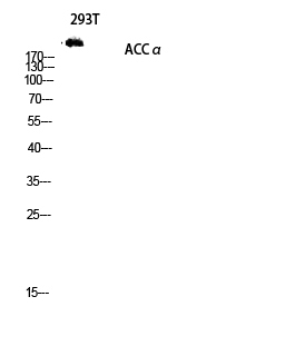 Fig.2. Western blot analysis of 293T lysis using ACCα antibody. Antibody was diluted at 1:1000.