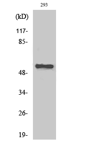 Fig. Western Blot analysis of various cells using AChRα5 Polyclonal Antibody.