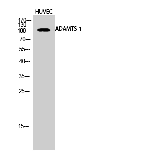 Fig.2. Western Blot analysis of HUVEC cells using ADAMTS-1 Polyclonal Antibody.