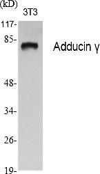 Fig.1. Western Blot analysis of various cells using Adducin γ Polyclonal Antibody.
