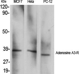 Fig.1. Western Blot analysis of various cells using Adenosine A3-R Polyclonal Antibody.