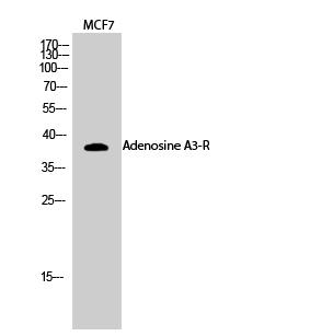 Fig.2. Western Blot analysis of MCF7 cells using Adenosine A3-R Polyclonal Antibody.