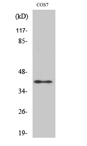 Fig. Western Blot analysis of various cells using ADH7 Polyclonal Antibody.