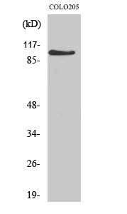Fig. Western Blot analysis of various cells using AF-10 Polyclonal Antibody diluted at 1:1000.