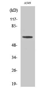 Fig. Western Blot analysis of various cells using AGBL4 Polyclonal Antibody.