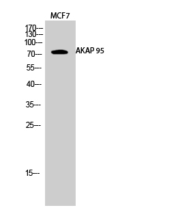 Fig.2. Western Blot analysis of MCF7 cells using AKAP 95 Polyclonal Antibody diluted at 1:1000.
