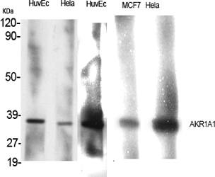 Fig.1. Western Blot analysis of various cells using AKR1A1 Polyclonal Antibody.
