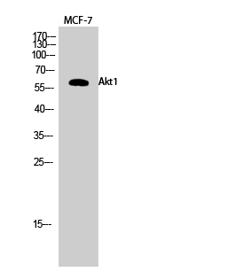 Fig.2. Western Blot analysis of MCF-7 cells using Akt1 Polyclonal Antibody diluted at 1:1000.