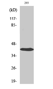 Fig. Western Blot analysis of various cells using AP-1 Polyclonal Antibody.