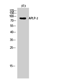 Fig.2. Western Blot analysis of 3T3 cells using APLP-2 Polyclonal Antibody diluted at 1:2000.