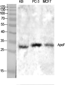 Fig.1. Western Blot analysis of various cells using ApoF Polyclonal Antibody diluted at 1:1000.