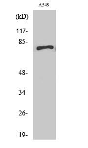Fig. Western Blot analysis of various cells using APPL1 Polyclonal Antibody.