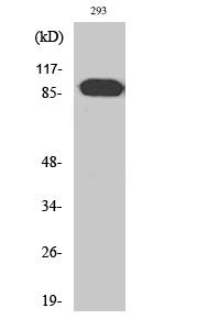 Fig. Western Blot analysis of various cells using ARHGEF19 Polyclonal Antibody.