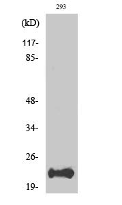 Fig. Western Blot analysis of various cells using Bad Polyclonal Antibody.