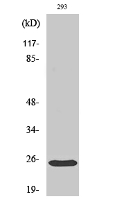 Fig.2. Western Blot analysis of 293 cells using Bak Polyclonal Antibody diluted at 1:500.