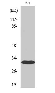 Fig. Western Blot analysis of various cells using BAM32 Polyclonal Antibody.