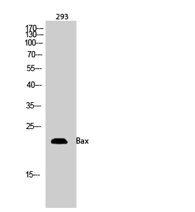 Fig.2. Western Blot analysis of 293 cells using Bax Polyclonal Antibody.