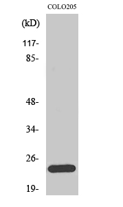 Fig. Western Blot analysis of various cells using Bcl-w Polyclonal Antibody diluted at 1:2000.